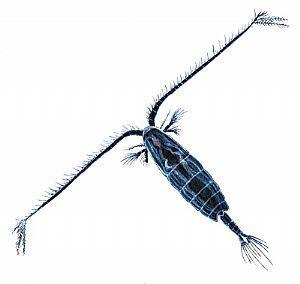 Calanoid copepod