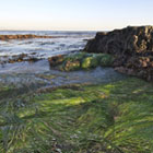 Surf-grass beds at Point Fermin tidepools