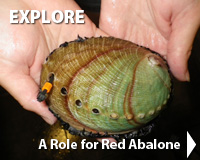 A Role for Red Abalone