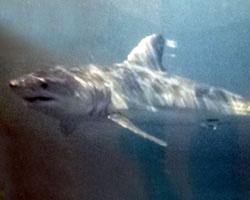 Shortfin mako shark habitat