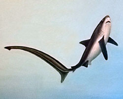 Common Thresher Shark