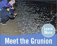 Meet the Grunion